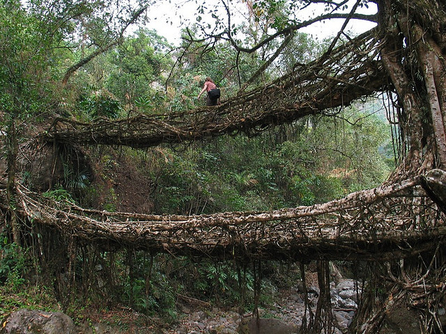 Living root bridges in the tropical forests of Meghalaya state, India