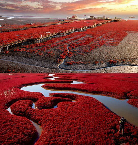 Panjin Red Beach in Liaoning Province, China