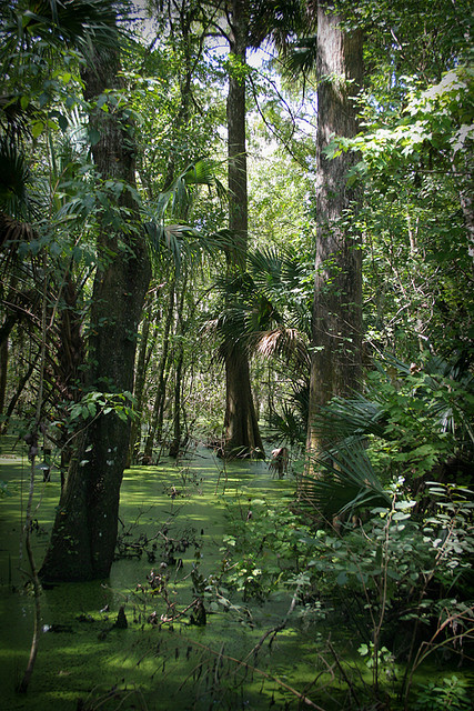 Swampy area at Lake Woodruff National Wildlife Refuge, Florida, USA