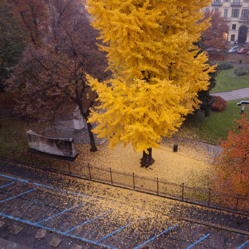 Autumn Tree, Turin, Italy
