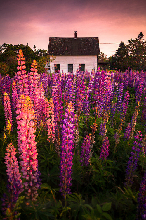 Lupine Cottage, Tremont, Maine