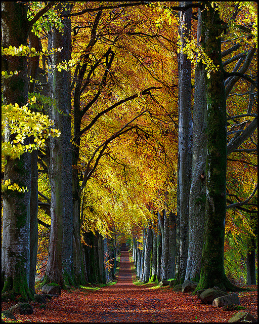 Autumn beech avenue to Drummond Castle, Scotland